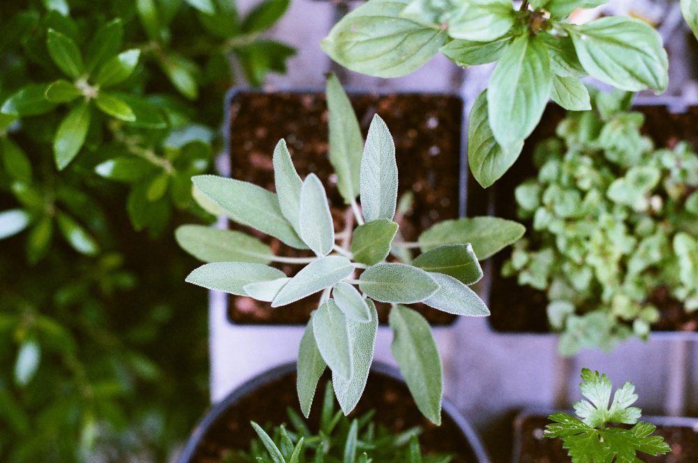 sage leaves in a pot